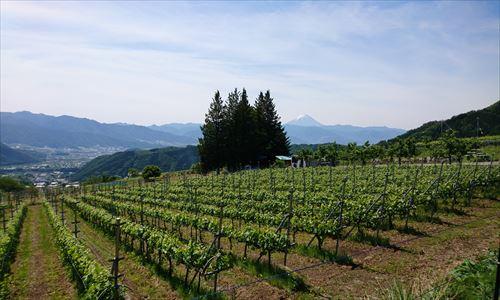 山梨のワイン造り ブドウ栽培の今! #2