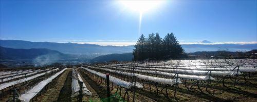 山梨のワイン造り ブドウ栽培の今! #1
