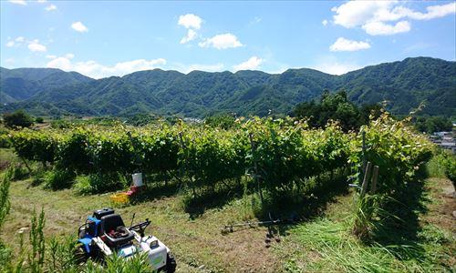 山梨のワイン造り ブドウ栽培の今!#3