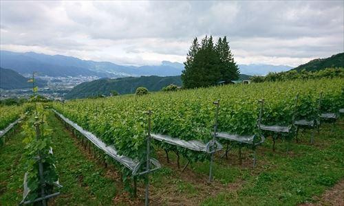 山梨のワイン造り ブドウ栽培の今!#4