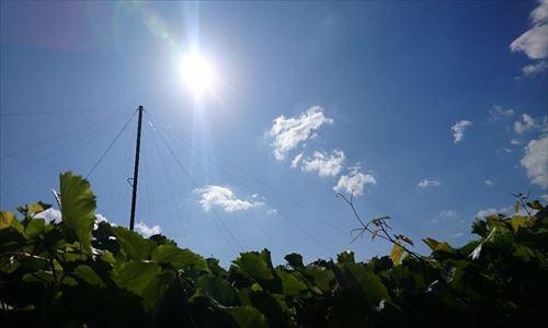 山梨のワイン造り ブドウ栽培の今!#5