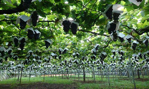 山梨のワイン造り ブドウ栽培の今!#7