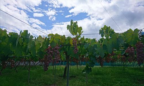 山梨のワイン造り ブドウ栽培の今!#8