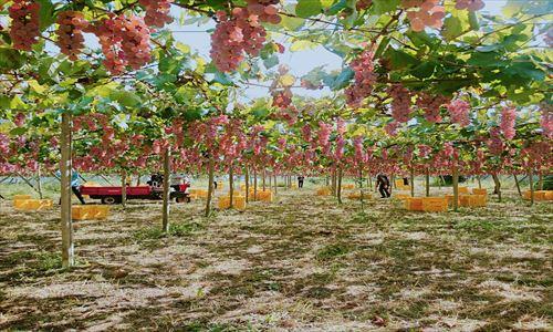 山梨のワイン造り ブドウ栽培の今!#9