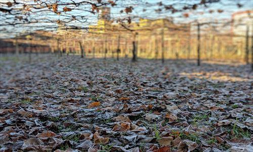 山梨のワイン造り ブドウ栽培の今!#11