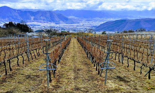 山梨のワイン造り ブドウ栽培の今!#12