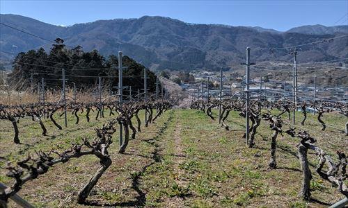 山梨のワイン造り ブドウ栽培の今!#13