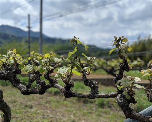 中央市 豊富畑 ヤマ・ソービニオン 赤ワイン 自社畑