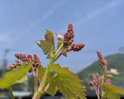 山梨のワイン造り ブドウ栽培の今!#14