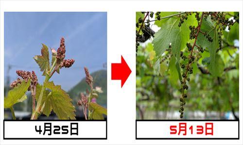 マスカット・ベーリーA 自社畑 赤ワイン 栽培