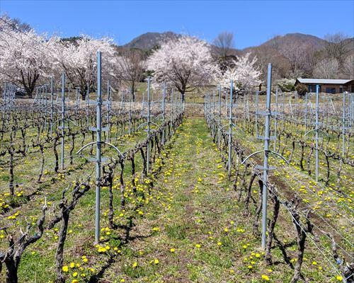 山梨市 メルロー 垣根栽培 たんぽぽ 桜 春 モンデ酒造 自社畑