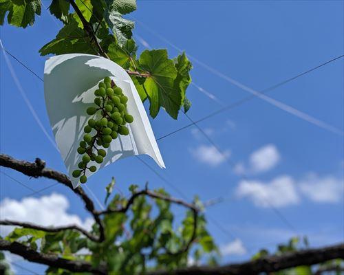 山梨のワイン造り ブドウ栽培の今!#15