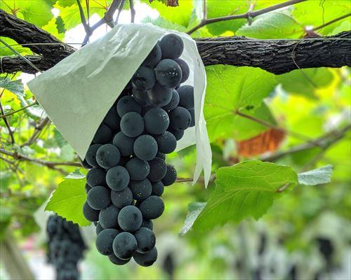 山梨のワイン造り ブドウ栽培の今!#16
