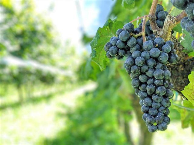 山梨のワイン造り ぶどう栽培の今!#17
